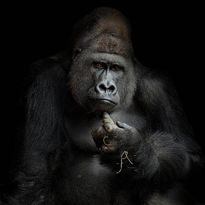 Gorillas Photograph - Imho .... by Antje Wenner