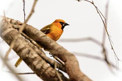 Photograph - Immature Altamira Oriole - Salineno Preserve - Texas by Debra Martz