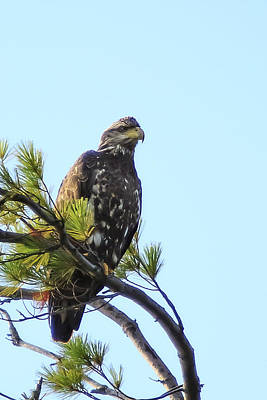 Photograph - Immature Bald Eagle 1 by Vance Bell