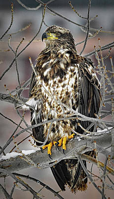 Riverstone Gallery Photograph - Immature Bald Eagle by Allyson Schwartz