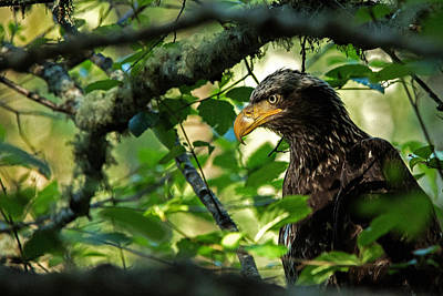 Photograph - Juvenile Bald Eagle by Bob Cournoyer