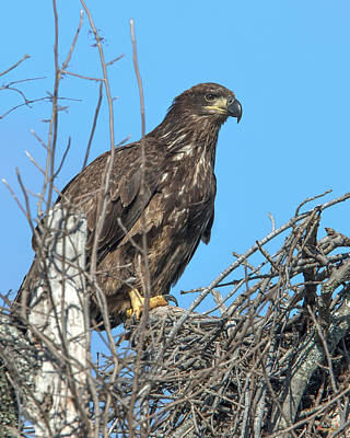 Photograph - Immature Bald Eagle Drb0204 by Gerry Gantt