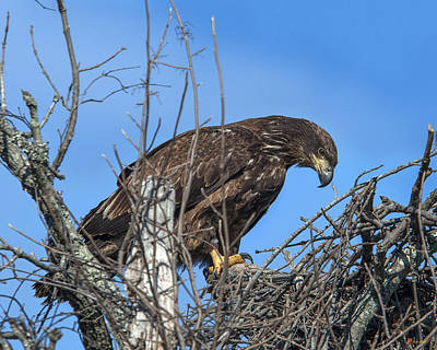 Photograph - Immature Bald Eagle Drb0205 by Gerry Gantt