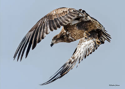 Photograph - Immature Bald Eagle Leaving A Perch by Stephen Johnson