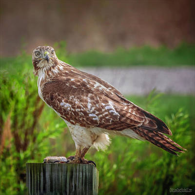 Photograph - Red Tail Hawk by LeeAnn McLaneGoetz McLaneGoetzStudioLLCcom