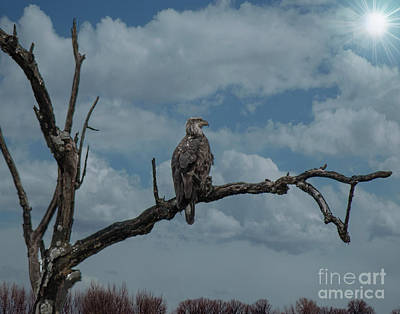 Digital Art - Immature Bald Eagle by Mary Bellew