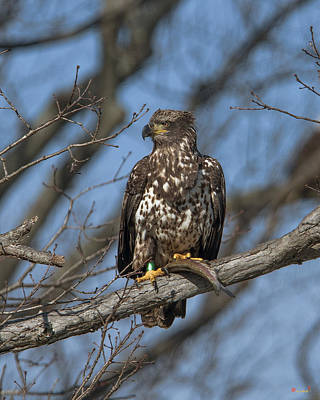 Photograph - Immature Bald Eagle With A Fish Drb0212 by Gerry Gantt