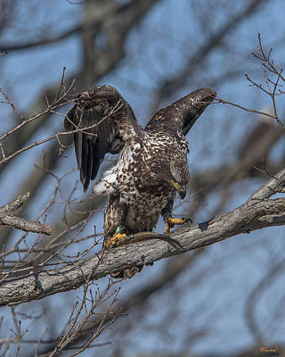 Photograph - Immature Bald Eagle With A Fish Drb0216 by Gerry Gantt