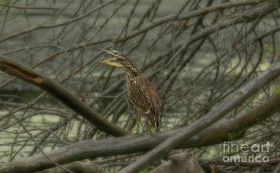 Nikki Vig Royalty-Free and Rights-Managed Images - Immature Black-crowned Night Heron  by Nikki Vig