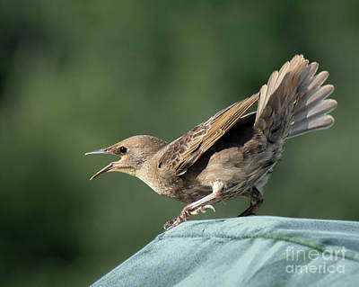 Photograph - Immature Common Grackle by Amy Porter