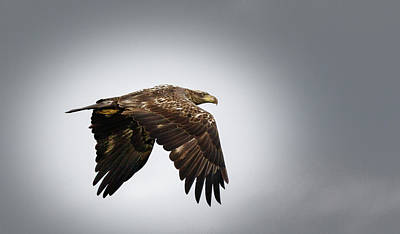Photograph - Immature Eagle by Les Greenwood