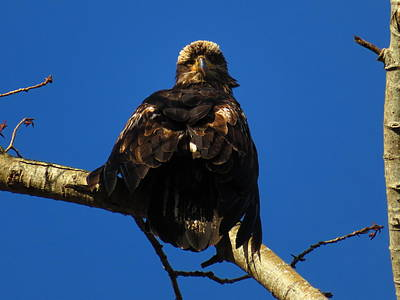 Photograph - Immature Eagle by Marie Jamieson