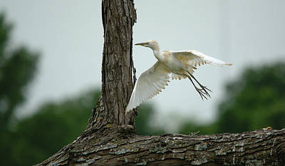 Photograph - Immature Little Blue Heron Begins Flight by Roy Williams