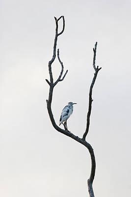 Sanibel Photograph - Immature Little Blue Heron by Lynn Berreitter