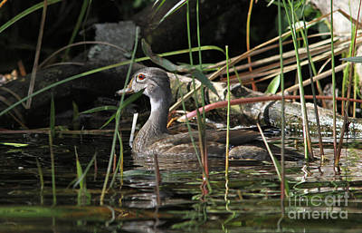 Photograph - Immature Male Wood Duck by Kevin McCarthy