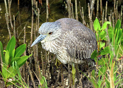 Immature Night Heron Art Print by Rosalie Scanlon