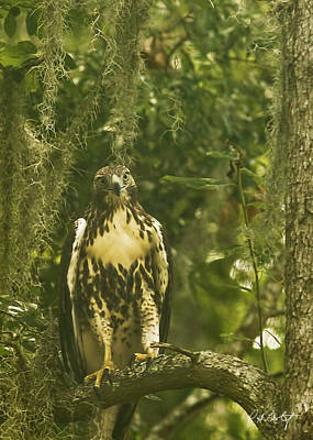 Immature Red-tail Hawk Art Print by Phill Doherty
