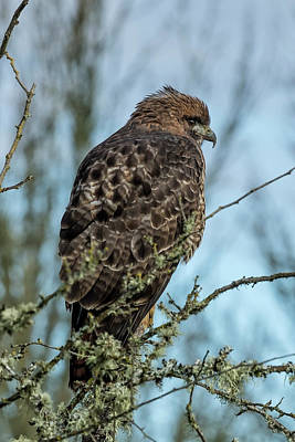 Photograph - Immature Red-tailed Hawk Dark Morph by Belinda Greb