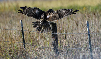 Photograph - Immature Red-tailed Hawk by Elizabeth Winter