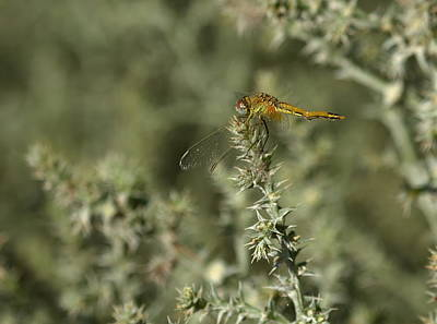Photograph - Immature Ruddy Darter, Sympetrum Sanguineum, In Camargue, France by Elenarts - Elena Duvernay photo