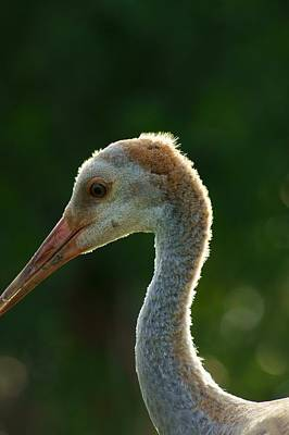 Photograph - Immature Sandhill Backlit by Lynda Dawson-Youngclaus