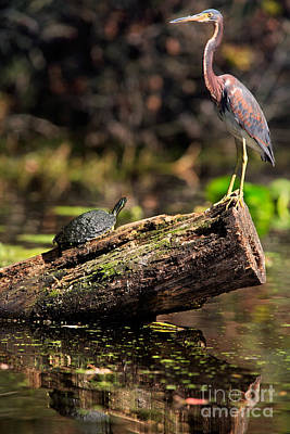 Immature Tri-colored Heron And Peninsula Cooter Turtle Art Print by Matt Suess
