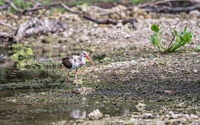 Photograph - Immature White Ibis by Framing Places
