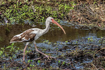 Photograph - Immature White Ibis by Richard Goldman