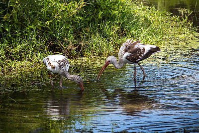 Photograph - Immature White Ibises by Richard Goldman