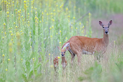 Photograph - Immersed In Mullein Doe Fawn by Brook Burling