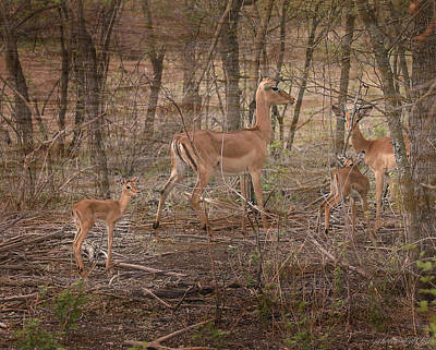 Photograph - Impala Doe And Fawn by Joseph G Holland