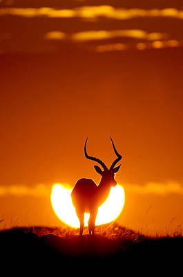 Mars Photograph - Impala In The Sun by Muriel Vekemans