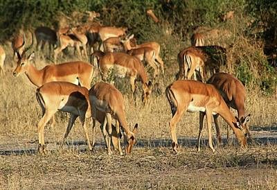 Photograph - Impala by Jennifer Wheatley Wolf