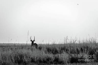 Photograph - Impala Silhouette Black And White by Tim Hester