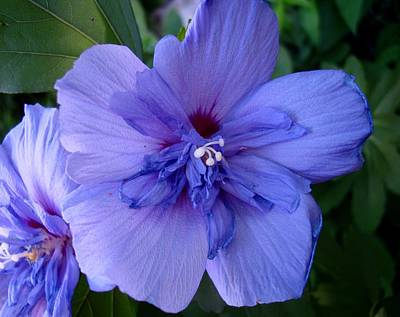 Photograph - Imperial Blue by Michiale Schneider