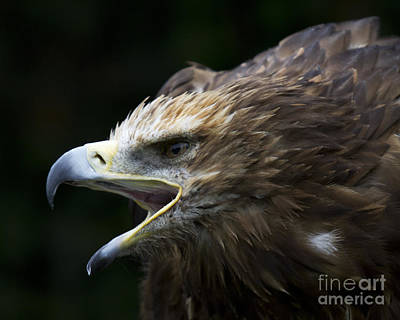 Eagle Photograph - Imperial Eagle 1 by Heiko Koehrer-Wagner