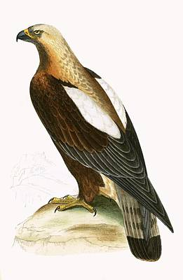 Birds Of Prey Drawing - Imperial Eagle by English School