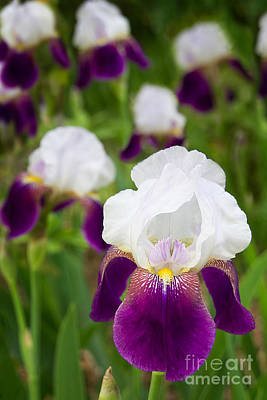 Photograph - Imperial Iris by Jemmy Archer