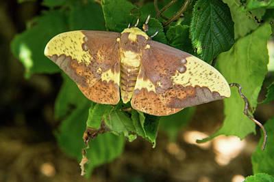 Apocrita Photograph - Imperial Moth Resting On Bush by Douglas Barnett