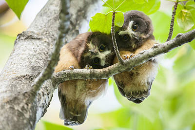 Resting Photograph - Impossibly Cute Owl Fledglings by Tim Grams