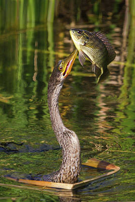 Photograph - Impressive Catch by Dawn Currie