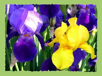 Photograph - Impressive Irises by Will Borden