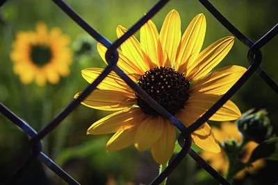 Photograph - Imprisoned Sunflower by Jeanette Fellows