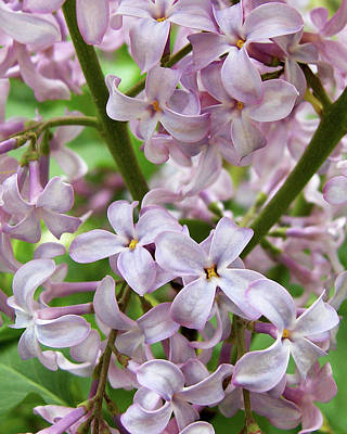 Photograph - In A Sea Of Lilacs by Kathi Mirto