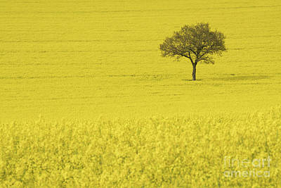 In A Sea Of Yellow Art Print by Richard Thomas