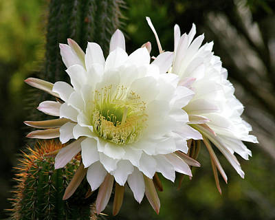Art Print featuring the photograph Cactus Blossoms by Melanie Alexandra Price