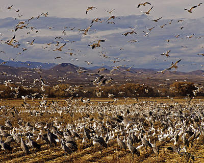 Photograph - In Flight  Bosque Del Apache by Kurt Van Wagner