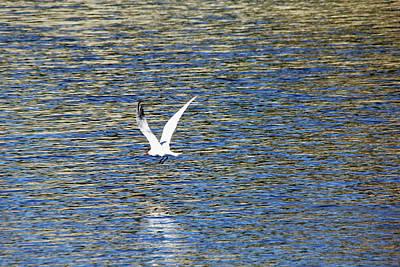 Photograph - In Flight Caspian Tern by Debbie Oppermann