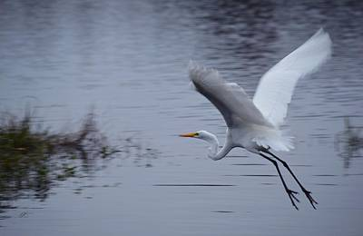 Photograph - In Flight - Great Egret by rd Erickson