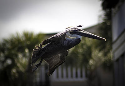 Photograph - In Flight Pelican by Debra Forand